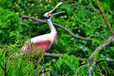 04122017_High_Island_Rookery_Rosette_Spoonbill_Perched_500_8475a