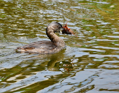 Least Grebe with Crawfish