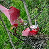 Rosette Spoonbill Presents Mate with Branch