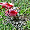 Rosette Spoonbills Nest Building