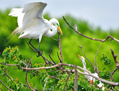 Great Egret Arrives at Nest at Feeding Time