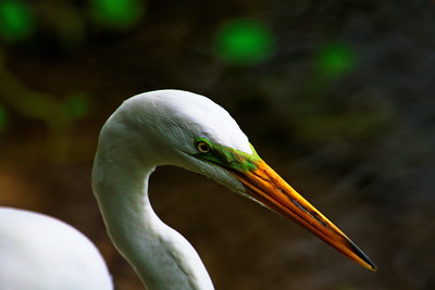 Great Egret Closeup Showing the Green Lores