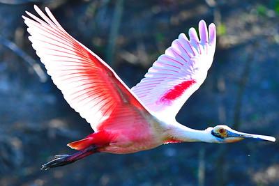 03152017_Smith_Oaks_Rookery_RS_Flying_Wings-spread_500_5862