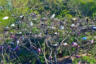 03152017_Smith_Oaks_Rookery_Birds-On-Nests_500_5721
