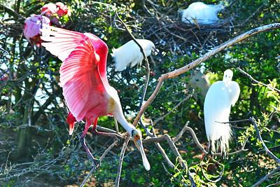 03152017_Smith_Oaks_Rookery_RS_Balancing_limb_Wings-up_500_6033