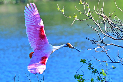 03152017_Smith_Oaks_Rookery_RS_Flying_Wings-out_500_5995