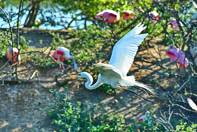 03152017_Smith_Oaks_Rookery_GE_Flying_Wings-up_500_6028
