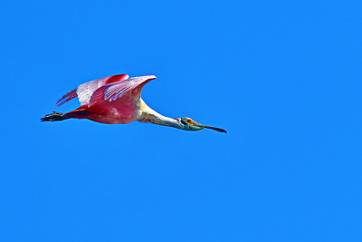 03152017_Smith_Oaks_Rookery_RS_Flying_Wings-out_500_6018