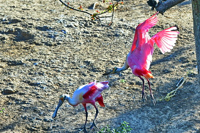 03152017_Smith_Oaks_Rookery_RS_Pair_500_6078