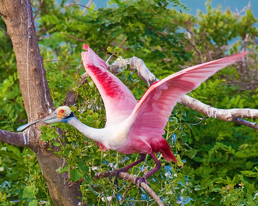 Roseate Spoonbill taken at Rookery at High Island on Texas coast near Galveston May 2009