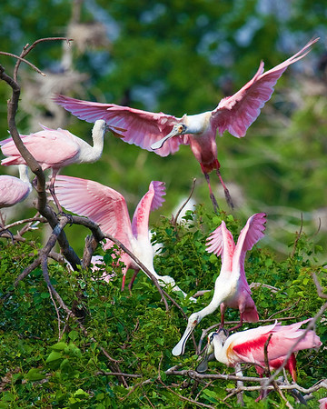 Roseate Spoonbills taken at Rookery at High Island on Texas coast near Galveston May 2009