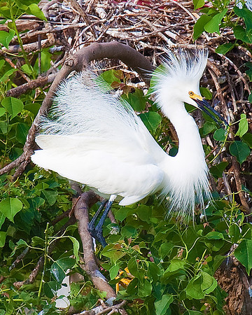 Snowy Egret taken at Rookery at High Island on Texas coast near Galveston May 2009