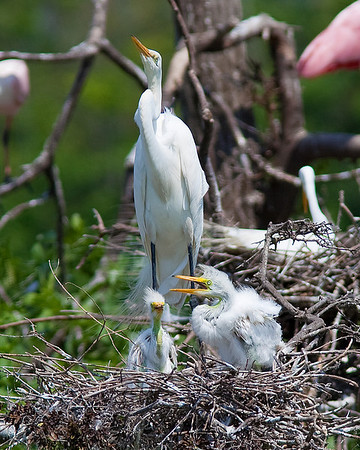 Great Egret and chicks taken at Rookery at High Island on Texas coast near Galveston May 20