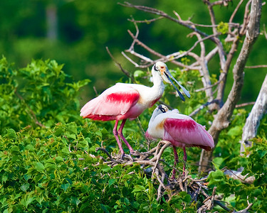 Roseate Spoonbills at rookery in High Island near Galveston, Tx May 2009