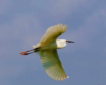 Egret in flight at High Island rookery May 2009