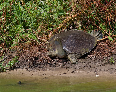 Large Spiny Softshell turtle at High Island rookery May 2009