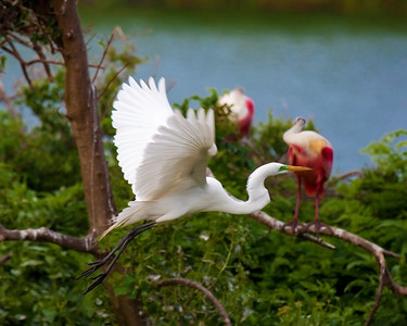 Egret captured in flight taken at Rookery at High Island on Texas coast near Galveston May 2009