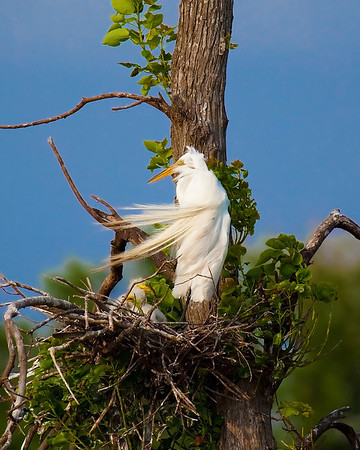 Nesting Egret at High Island, Tx May 2009