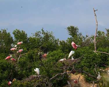 Rookery at High Island on Texas coast near Galveston May 2009