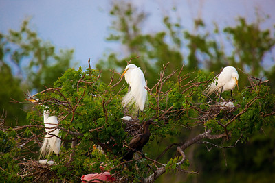 Egrets on nest at rookery in High Island, Tx near Galveston May 2009