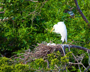Egret with young taken at Rookery at High Island on Texas coast near Galveston May 2009