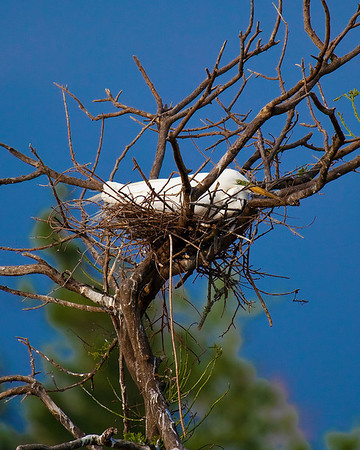 Egret on nest at rookery in High Island, Tx near Galveston May 2009