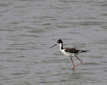 Black necked Stilt captured at rookery High Island May 2009