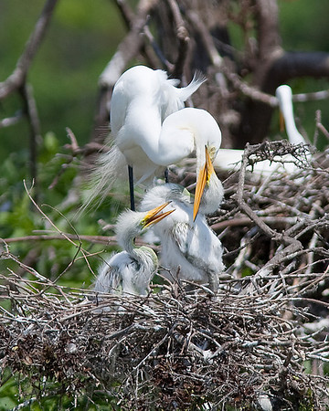 A little aggressiveness from a hungry egret chick at High Island rookery May 2009