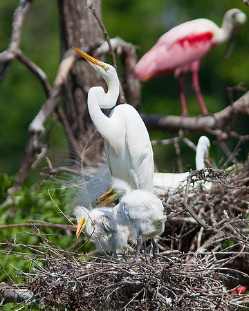 Great Egret with young taken at Rookery at High Island on Texas coast near Galveston May 20