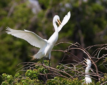 This Egret seems a little upset with its chick, High Island rookery May 2009