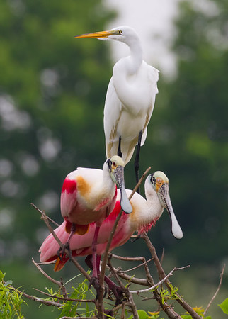 Great White Egret on top, spoonbills on bottom