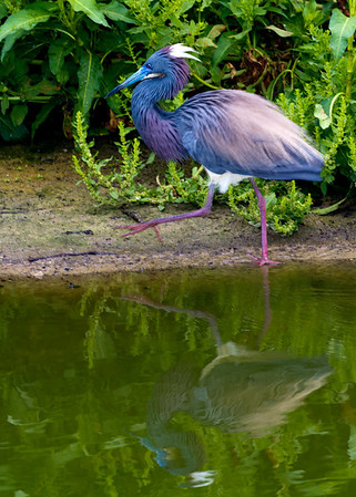 Tri-Colored Heron in Mating Colors