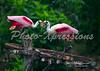 Roseate Spoonbills_1573