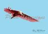 Roseate Spoonbill BIF_1596