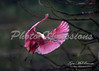 Roseate Spoonbill BIF_1506