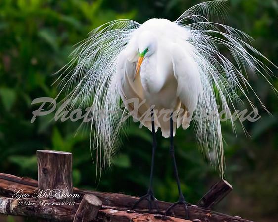 egret pretty_0988