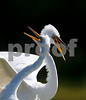 Great White Egrets.....
