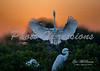 back lite egret_7277