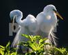 Egrets_5570
