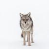 Montana Song Dog