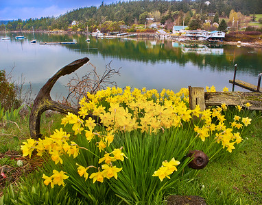 Spring Daffodils Orcas Island, WA -  file name for ordering listed below