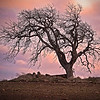 Lonley Oak - Eastern Oregon -  file name for ordering listed below