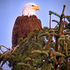 Western Washington Eagle- file name for ordering listed below