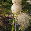 Bear Grass - Near Stevensville, MT  Use File name below for ordering