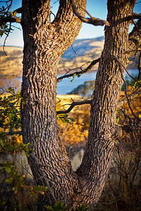 Columbia River through the old Oak Tree - Note File name for ordering