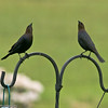 Twin Starlings - Marysville, WA