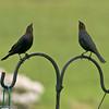 Twin Starlings - Marysville, WA