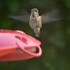 Hummingbird, Marysville, WA