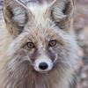 Gray fox - Cascade, Idaho -Note File name for ordering