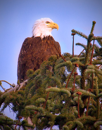 Tree Eagle - Western Washington - file name for ordering listed below